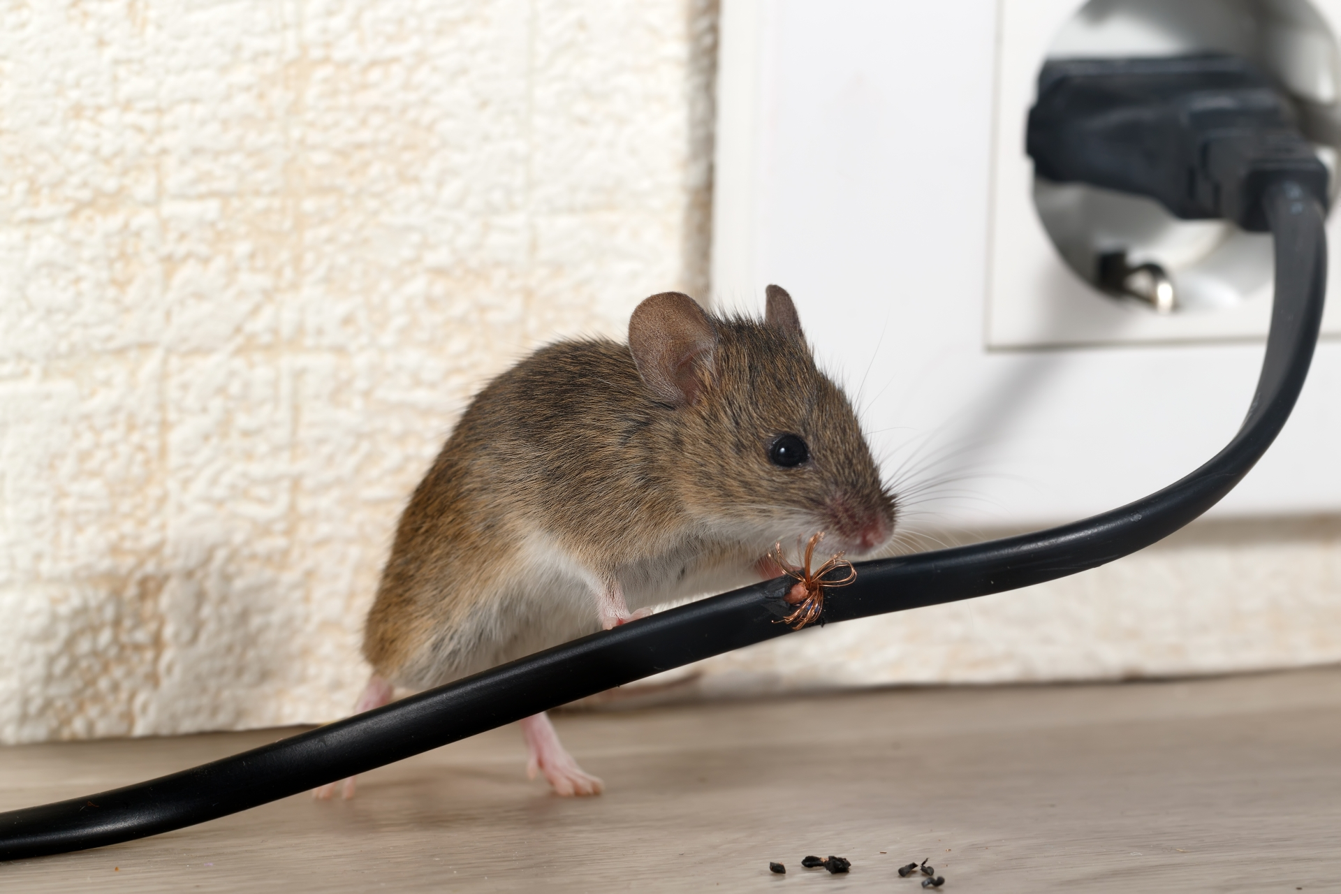 Mice Infestation, Pest Control in Alexandra Palace, Wood Green, N22. Call Now 020 8166 9746