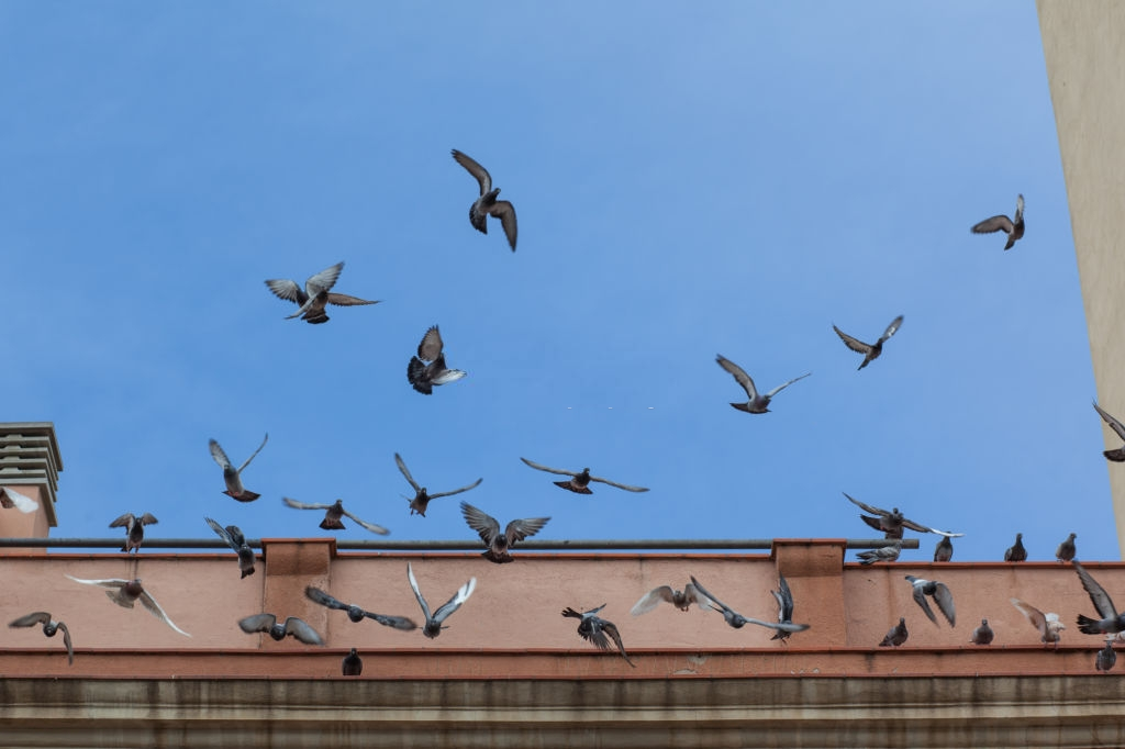 Pigeon Pest, Pest Control in Alexandra Palace, Wood Green, N22. Call Now 020 8166 9746