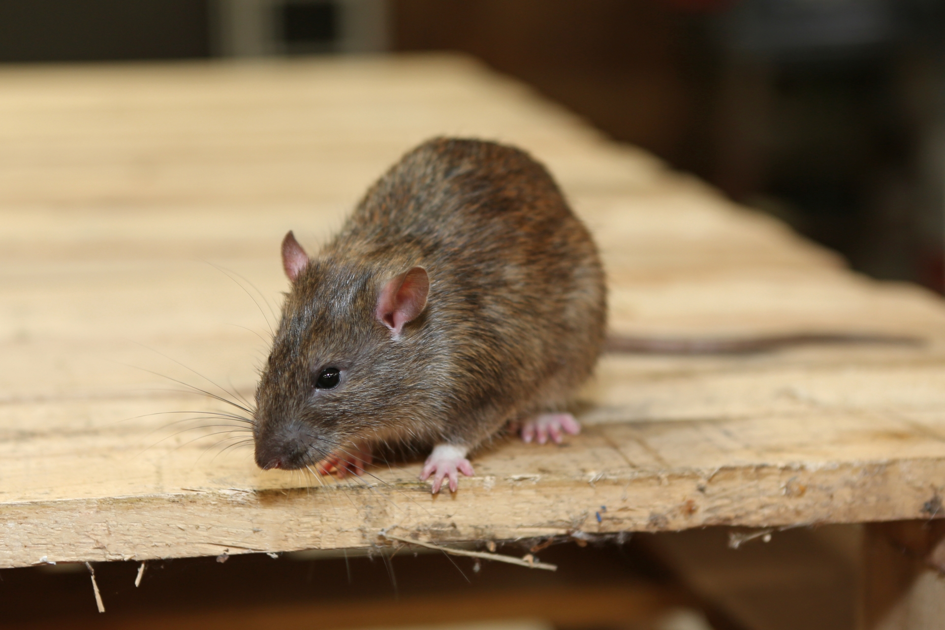Rat Control, Pest Control in Alexandra Palace, Wood Green, N22. Call Now 020 8166 9746